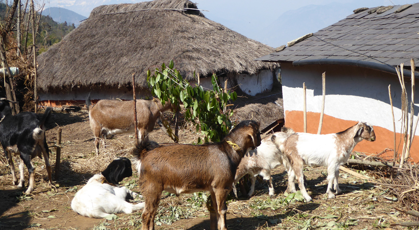Multiple Benefits of Goat Raising